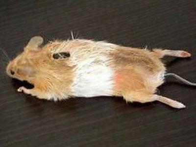 Trông như một chú chuột thật. Ảnh: AboutOnlineTips
